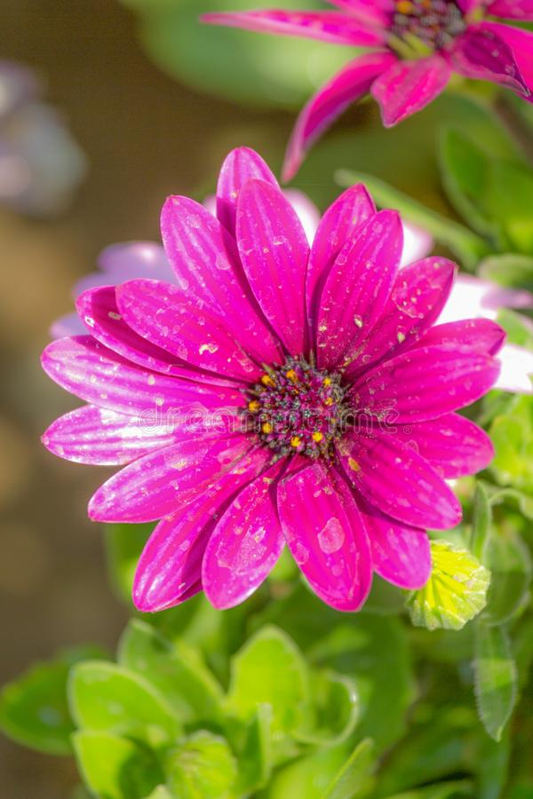 紫色雏菊花 免版税库存图片