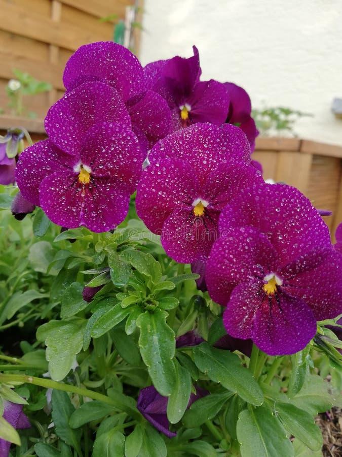 紫色雨花 库存图片