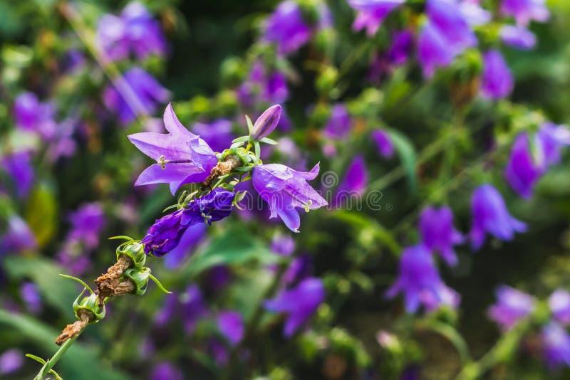 紫色风铃草或荨麻有叶的风轮草trachelium在美好的色的被弄脏的绿色和紫罗兰色背景 库存照片