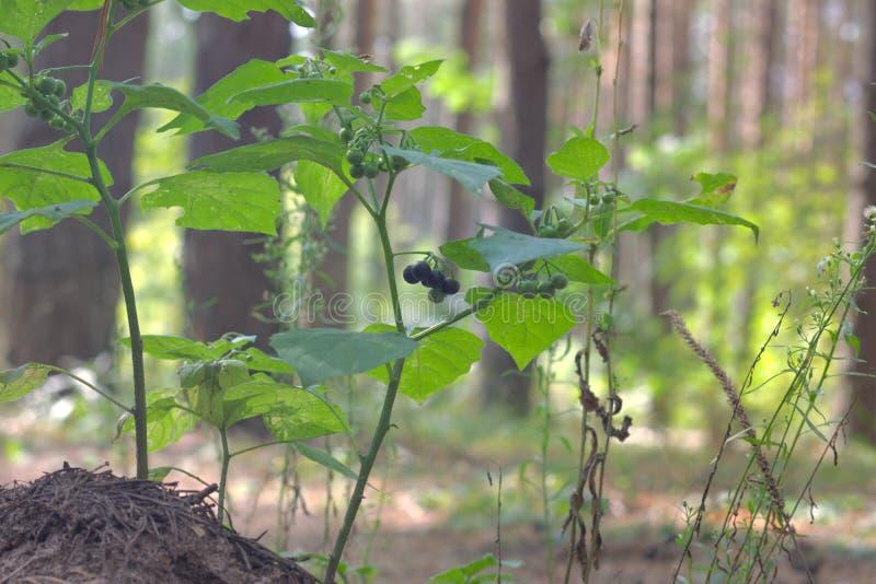紫色黑不致命的毒性莓果 欧洲龙葵 免版税库存图片