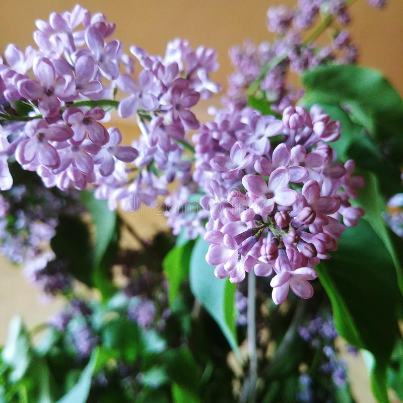 紫色 库存图片
