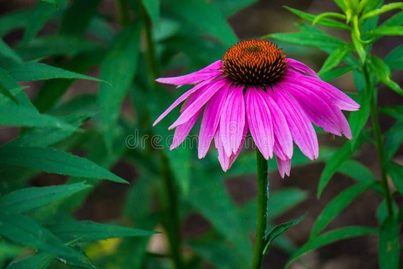 紫色Coneflower的特写镜头 库存照片
