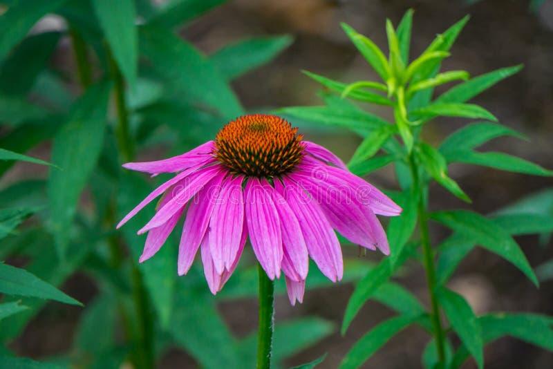 紫色Coneflower的特写镜头 免版税库存照片