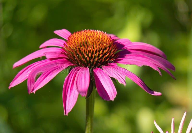 紫色Coneflower 免版税图库摄影