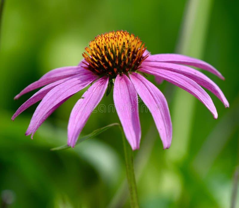 紫色Coneflower 库存照片