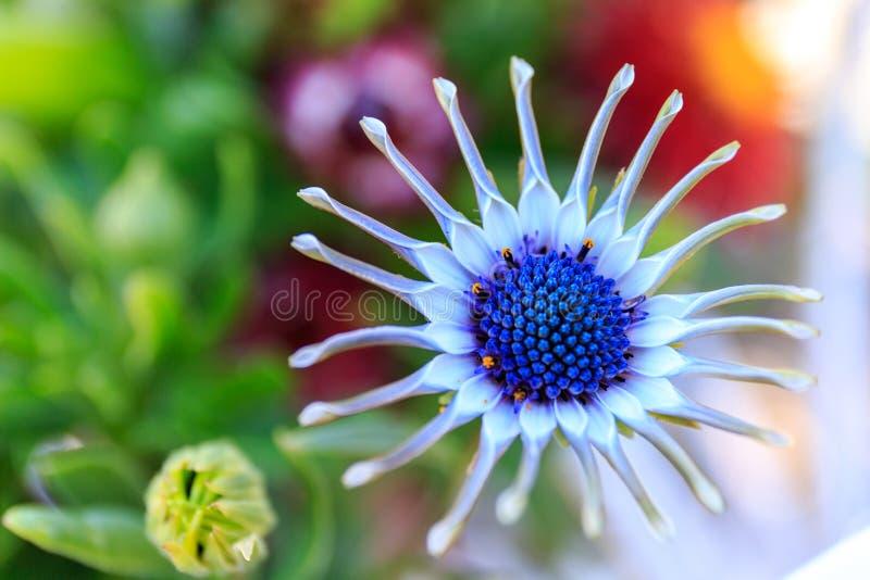 紫色Osteospermum,关闭花雄芯花蕊 库存照片