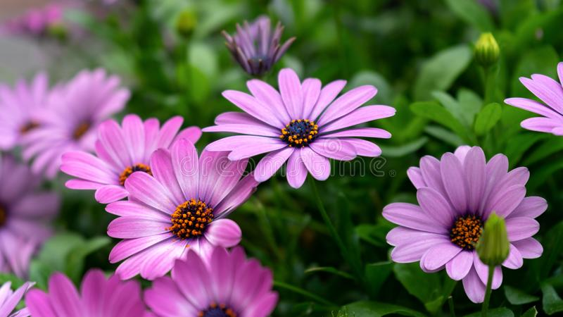 紫色osteospermum ecklonis,非洲雏菊,开花在庭院里的非洲雏菊花 库存图片