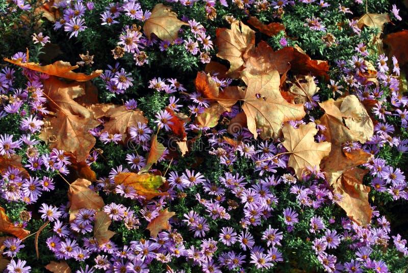 紫色symphyotrichum novi-belgii纽约翠菊和腐烂的黄色槭树离开对此 免版税库存照片