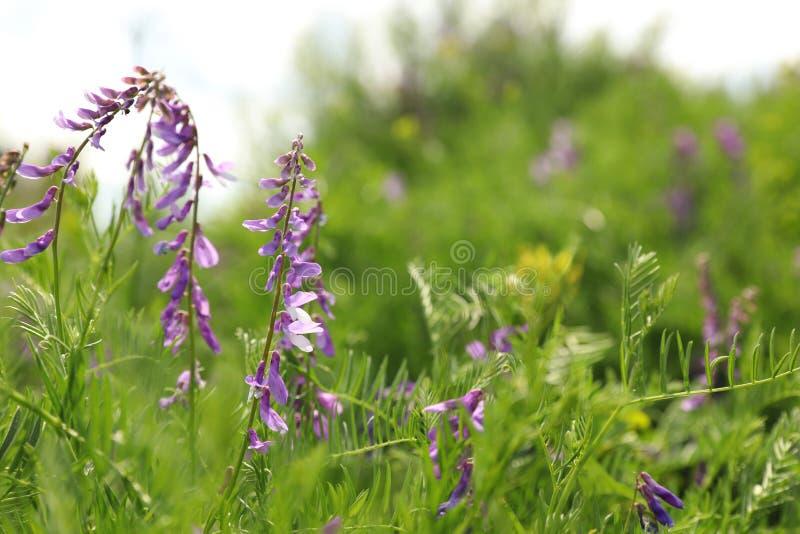 紫花开的草甸特写 免版税图库摄影