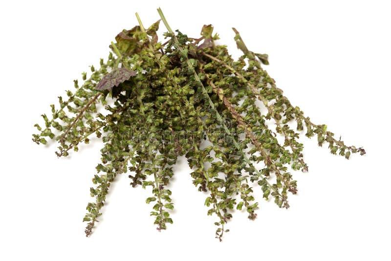 紫苏用于传统,中国草药的草本种子 免版税库存照片