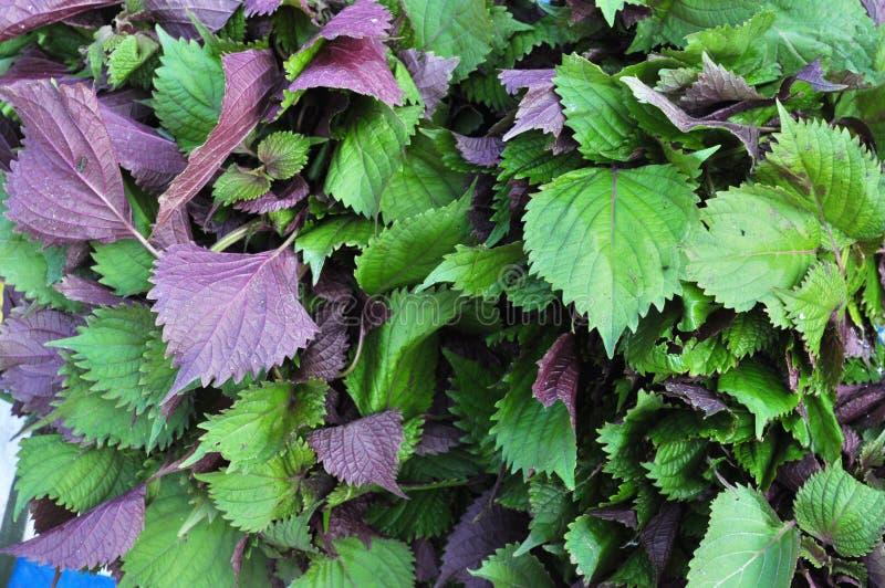 紫苏紫色 库存图片