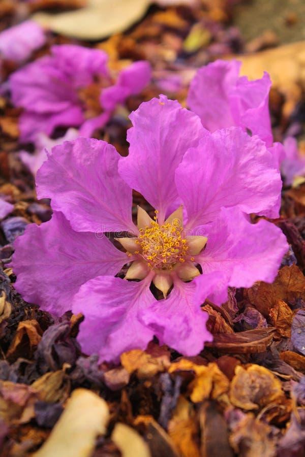 紫薇speciosa 免版税库存图片