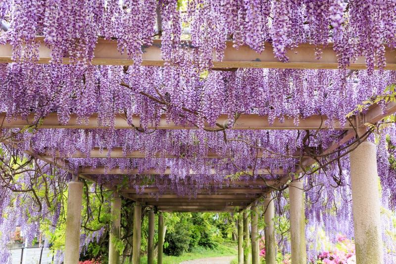 紫藤在呼子;日本 免版税图库摄影