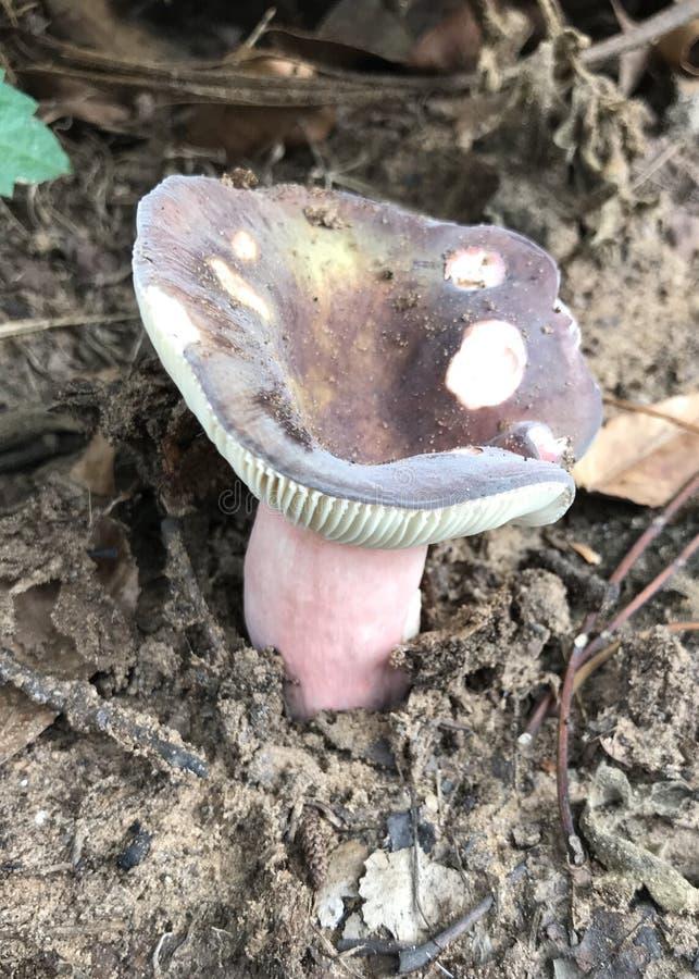 紫金乳菇 免版税图库摄影