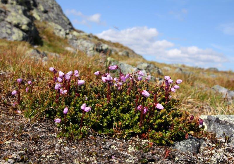 紫金山石南花在芬兰拉普兰 库存图片