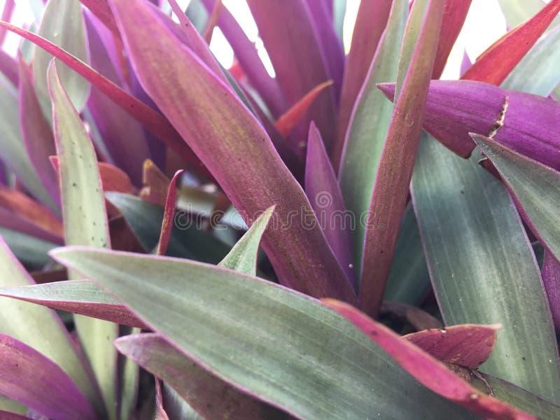 紫鸭跖草spathacea 免版税库存照片
