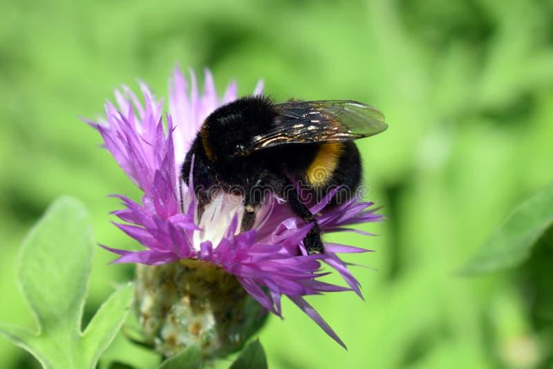 繁忙的土蜂在与花一起使用 库存照片