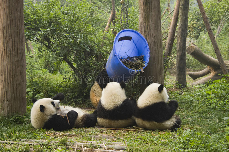 繁殖的中心成都熊猫研究 免版税库存照片