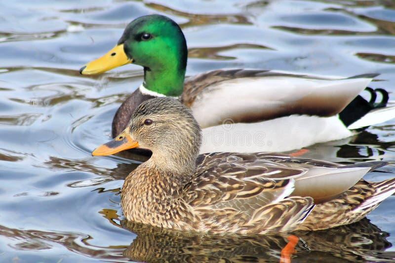 繁殖的对野鸭鸭子 库存图片