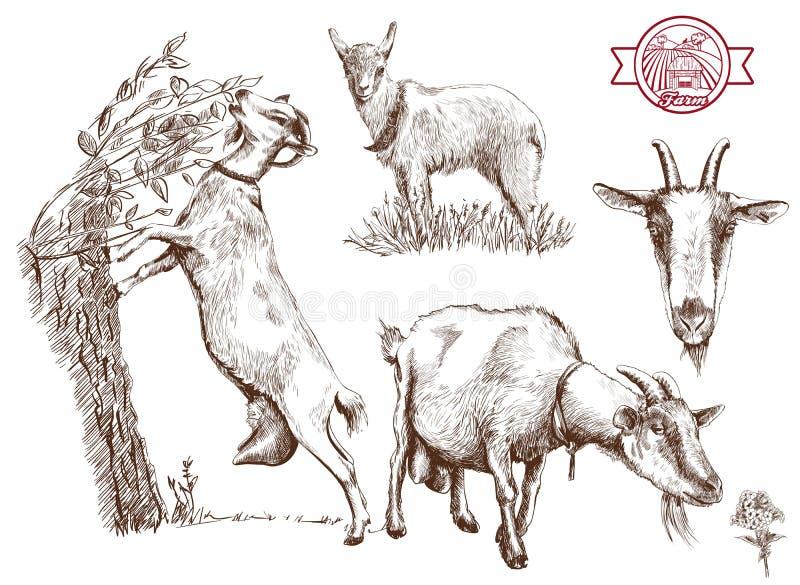 繁殖的山羊 皇族释放例证