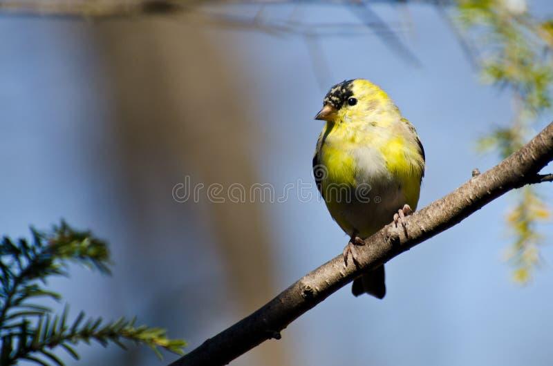 繁殖的更改全身羽毛 免版税库存图片