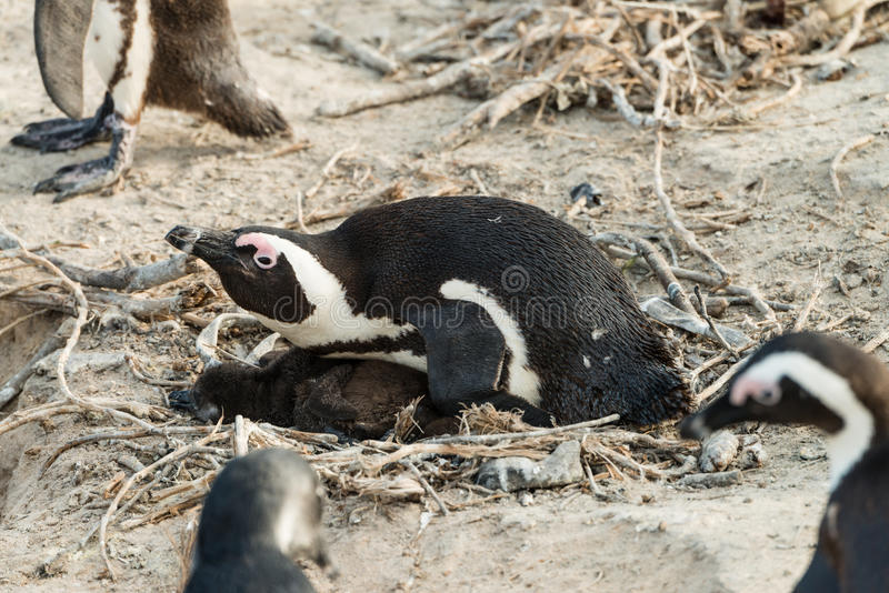 繁殖的非洲企鹅拉特 在冰砾的蠢企鹅Demersus 库存图片