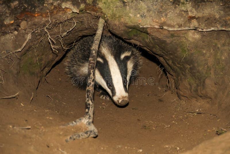 纠缠崽涌现从獾铺石的獾属獾属 免版税库存照片