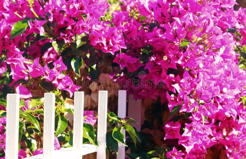 纠缠白色篱芭的桃红色九重葛 图库摄影