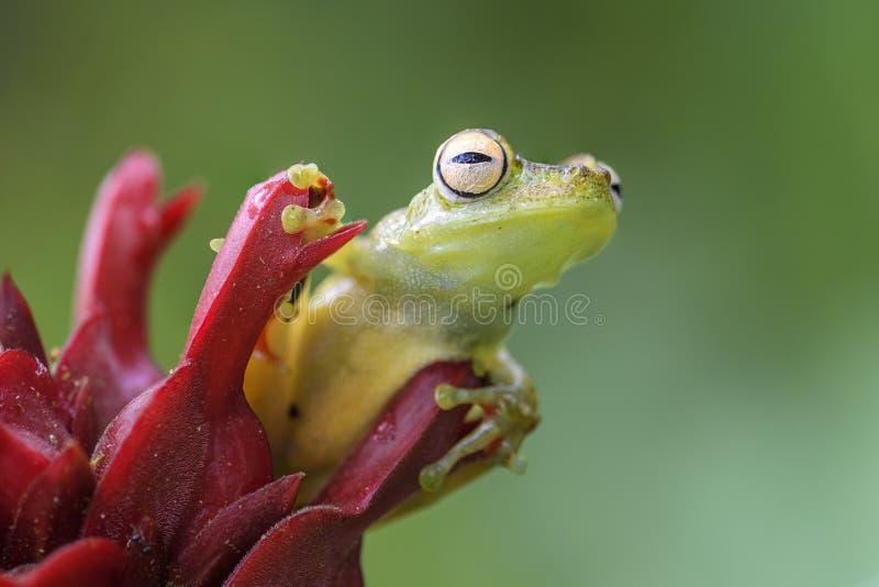 红作成蜘蛛网状雨蛙- Hypsiboas rufitelus 库存图片