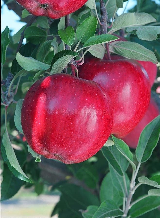 红元帅的苹果 免版税库存照片