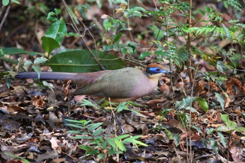 红加盖的coua,马达加斯加的地方性鸟 库存照片