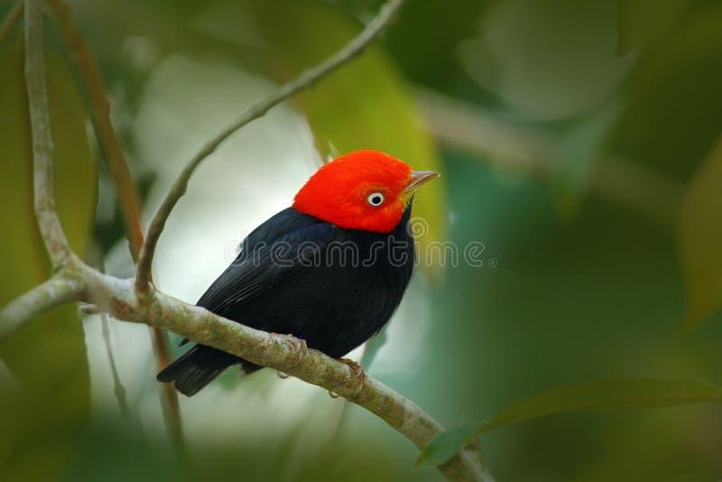 红加盖的Manakin,比布拉mentalis,罕见的bizar鸟, Nelize,中美洲 森林鸟,从自然的野生生物场面 黑Manak 免版税库存图片
