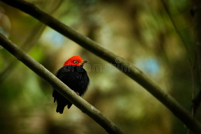 红加盖的manakin - Ceratopipra在Pipridae家庭的mentalis鸟 免版税库存图片