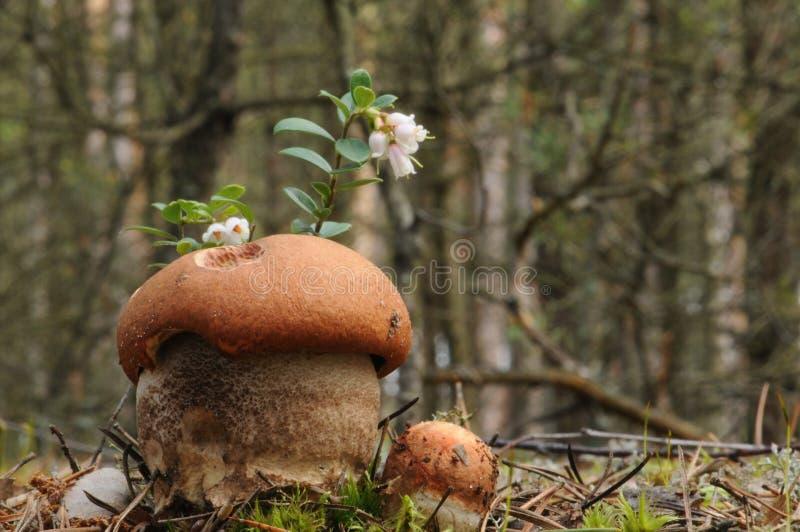 红加盖的scaber茎蘑菇(Leccinum aurantiacum) 库存照片