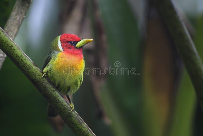 红发热带巨嘴鸟- Eubucco bourcierii 库存图片
