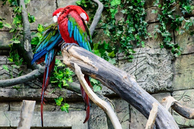 红和绿的金刚鹦鹉Ara chloroptera,睡觉在a的两只鹦鹉 库存照片