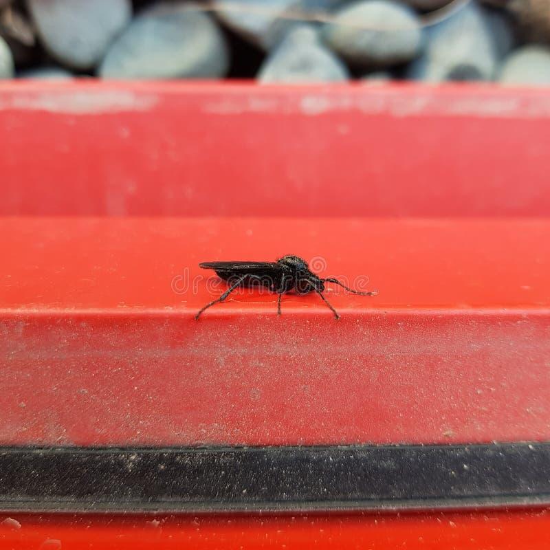 红墙上的黑苍蝇,波兰 免版税库存图片