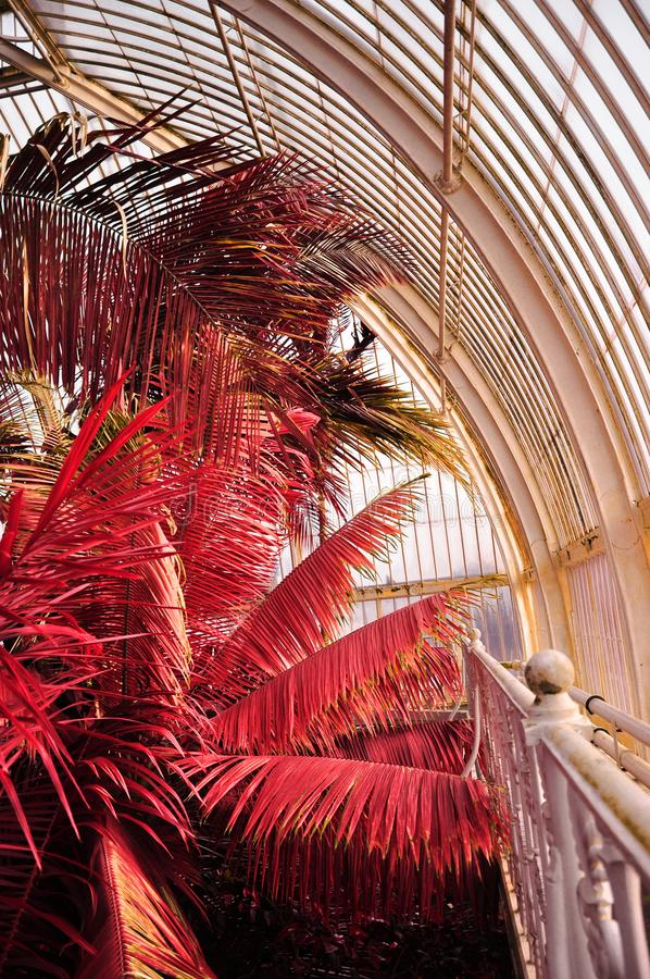 红外棕榈在Kew庭院里 库存照片
