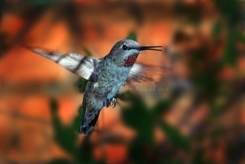 红宝石喉头蜂鸟 库存照片