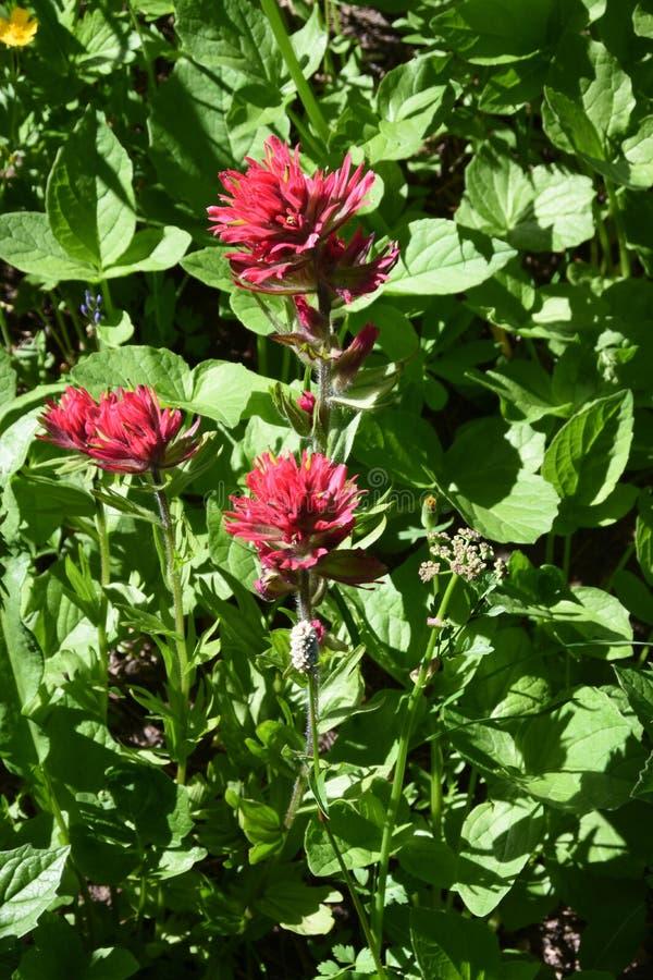红宝石油漆刷, Castilleja Spp 在妙境足迹附近, Mt 更加多雨的国家公园,华盛顿州,太平洋西北地区 库存图片