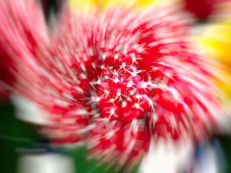 红宝石球仙人掌Gymnocalycium或红色盖帽仙人掌被种植在温室 选择聚焦 行动迷离作用 免版税库存照片