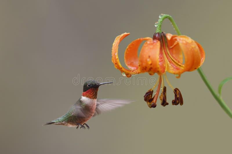 红宝石红喉刺莺的蜂鸟和密执安百合-安大略,加拿大 图库摄影