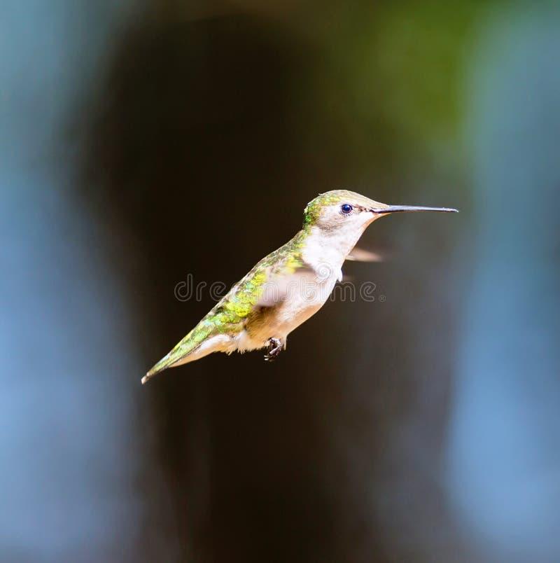 Download 红宝石红喉刺莺的蜂鸟女性 库存图片. 图片 包括有 北部, 栖息, 女性, beautifuler, 长期 - 72372855