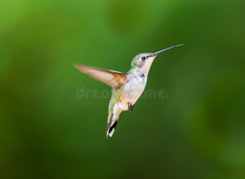 Download 红宝石红喉刺莺的蜂鸟女性 库存照片. 图片 包括有 鸟类学, 加拿大, 翱翔, 颜色, 迁移, 绿色, 特写镜头 - 72373702
