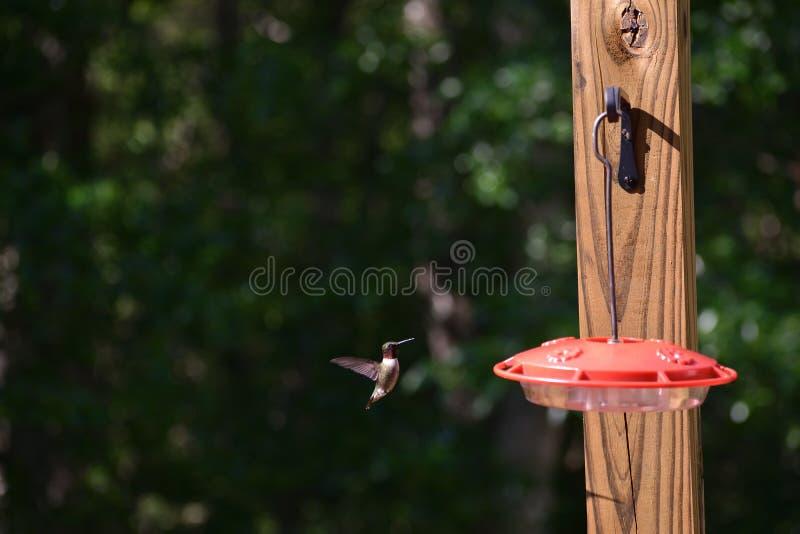 红宝石红喉刺莺的蜂鸟接近饲养者 库存图片