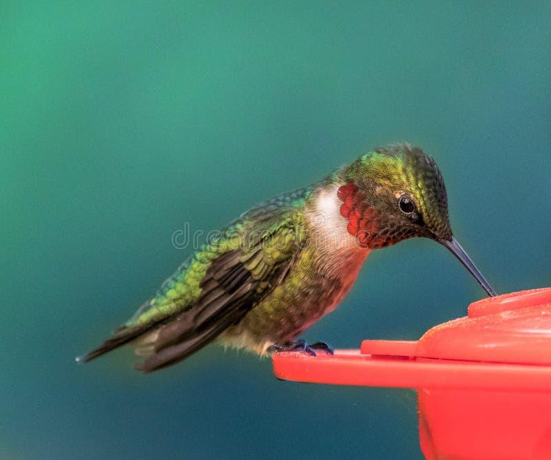 红宝石红喉刺莺蜂鸟哺养 库存图片