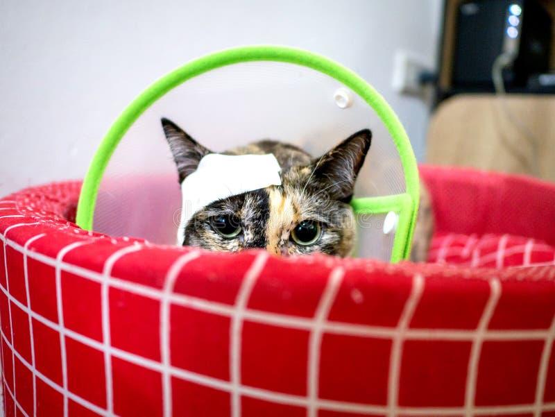 红宠物床上绿伊丽莎白时期领头带创伤猫 库存图片