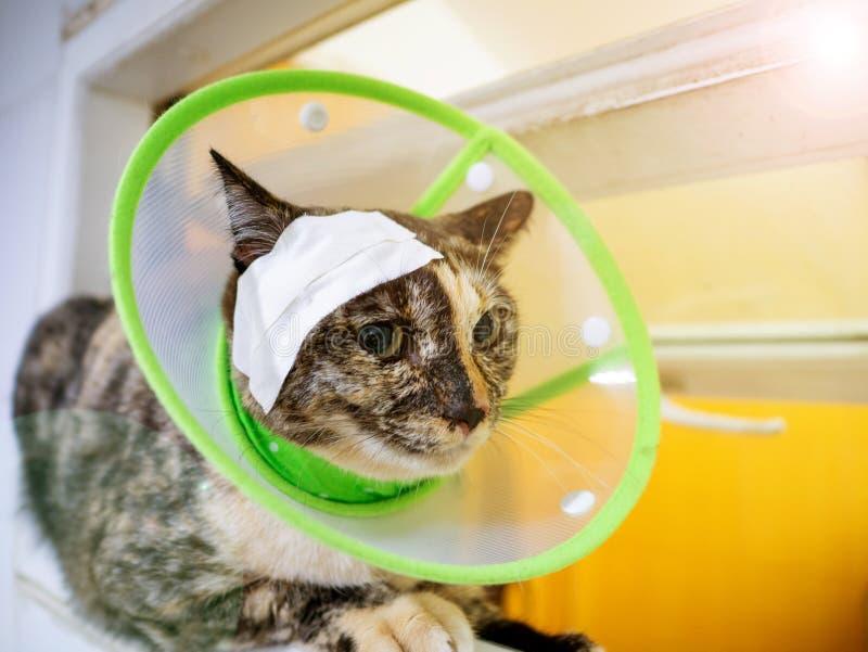红宠物床上绿伊丽莎白时期领头带创伤猫 库存照片
