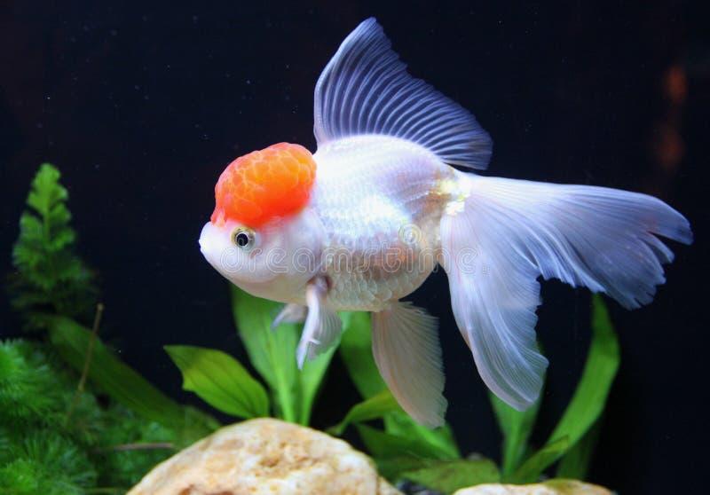 红帽子金鱼 库存照片