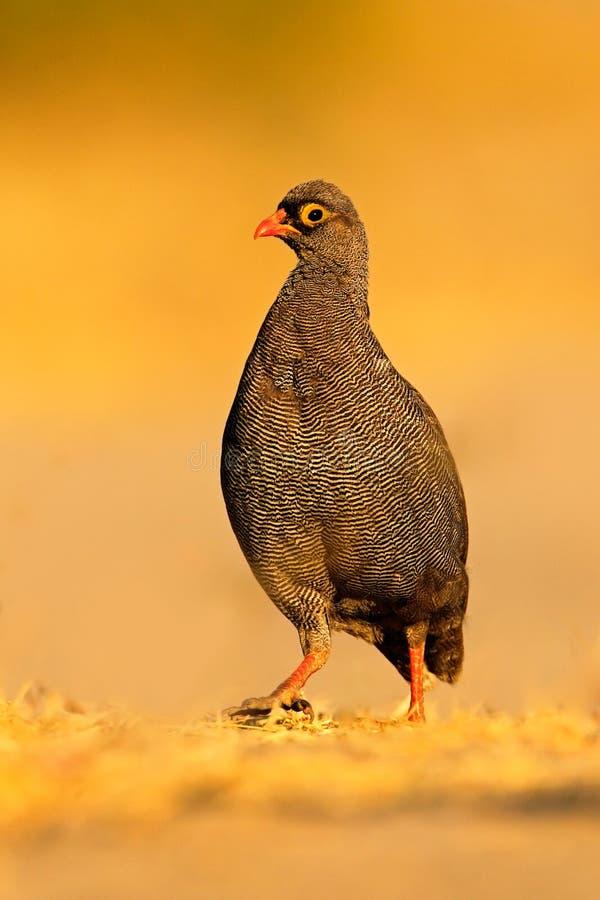 红开帐单的Francolin, Francolinus adspersus,鸟在自然栖所,乔贝国家公园,博茨瓦纳,非洲 免版税库存图片